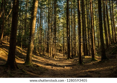 coniferous forest of trees with a full frame trail #1280593405