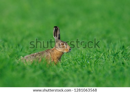 European brown hare in summer, Lepus europaeus, Germany, Europe #1281063568