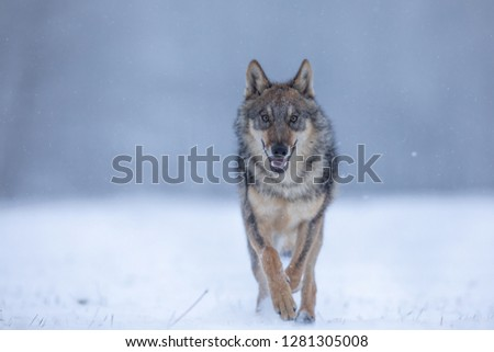 wolf running in snow, winter scenery with wolf, wolf running in winter landscape