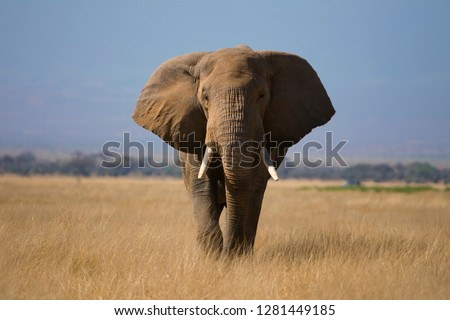 closeup view of Isolated African Elephant in the Amboseli National park , Kenya , Africa #1281449185