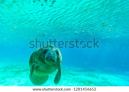 Manatee Swimming in clear water of Crystal River, Florida