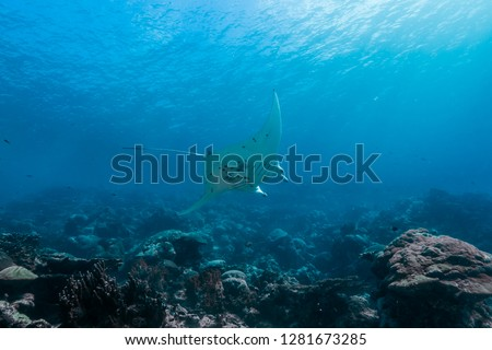 Manta ray swimming around bright coral reef. Yap island, Federated States of Micronesia. #1281673285