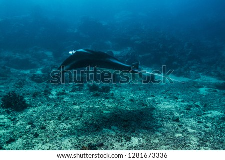 A young manta ray passing through a coral channel. Yap island, Federated States of Micronesia #1281673336