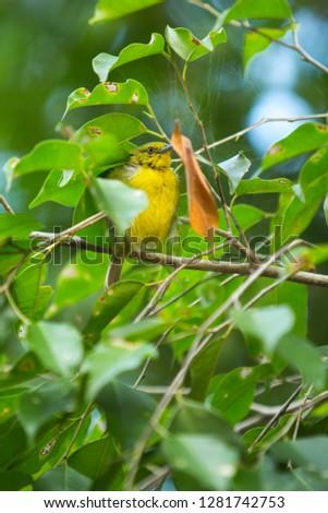 Common Iora Bird #1281742753
