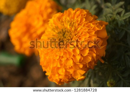 this is marigold flower #1281884728