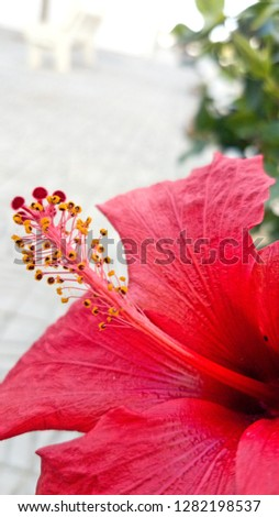 Hibiscus flower beautiful red radiant colors #1282198537