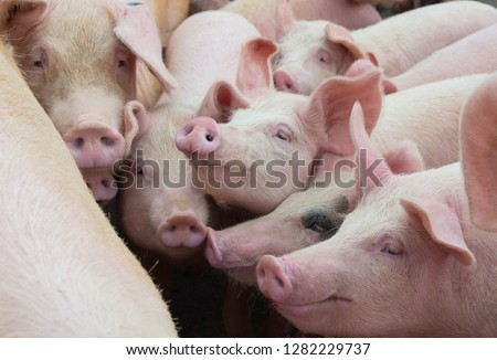 Livestock breeding. Group of pigs in farm yard. #1282229737