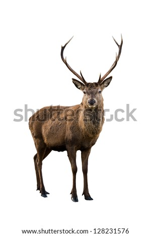 Scottish red deer stag isolated on white