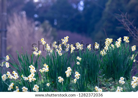narcissus flower in spring #1282372036