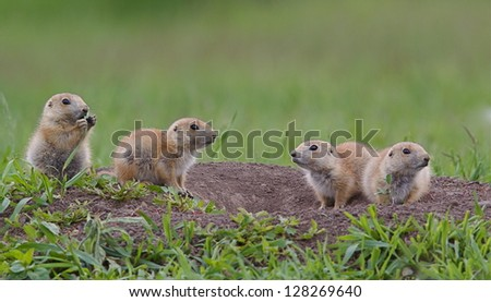Black Tailed Prairie Dog babies playing eating and interacting at their hole in Custer State Park, South Dakota Cynomys ludovicianus grassland habitat environment wildlife and nature photography #128269640