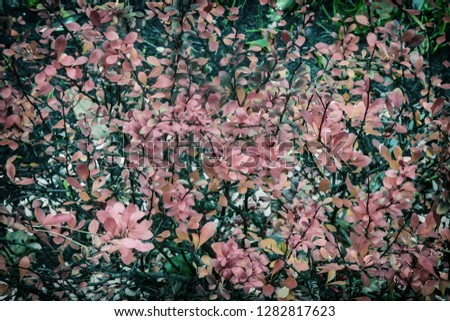 The most beautiful shrub for landscape design with high decorative - barberry Thunbergii. It has a thick crown and brightly colored red leaves. #1282817623