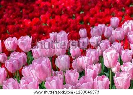 Two-tone floral background of red and pink tulips #1283046373