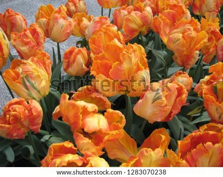 Keukenhof Flower Garden #1283070238