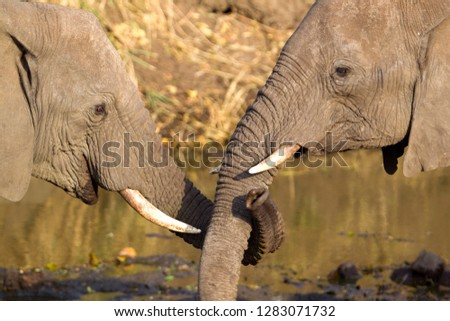 African Elephants (Loxodonta africana), Kruger National Park, South Africa