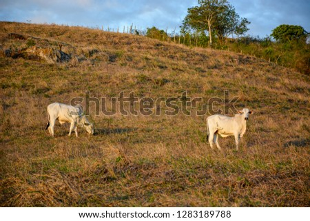 Cows grazing on open fields in the countryside in Brazil´s northeast. Several cows with calves and a bull on a pasture at sunset,  #1283189788