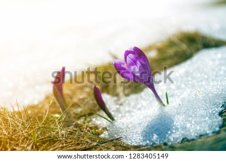 Close-up of marvelous blooming amazing first bright violet crocuses breaking through snow on steep mountain hill on blue sky copy space background.