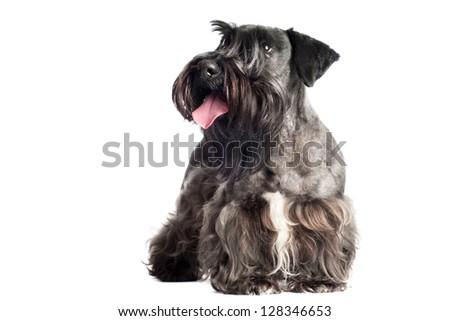 cesky terrier dog portrait #128346653