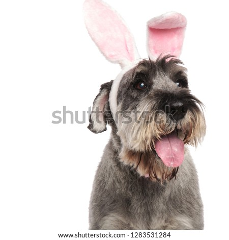 close up of panting schnauzer wearing pink rabbit ears looking to side while standing on white background #1283531284