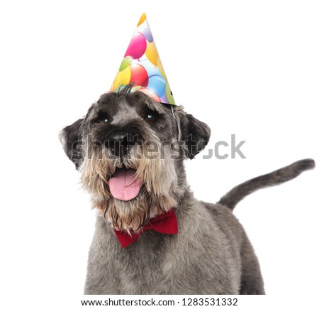 close up of gentleman schnauzer wearing birthday cap standing on white background and looking up to side #1283531332