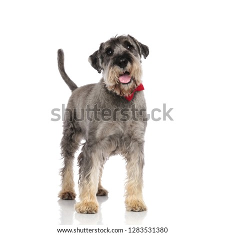 adorable schnauzer wearing a red bowtie pants while standing on white background #1283531380