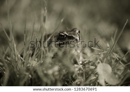 Frog on a grass in a garden. Shallow depth of field. Selective focus. Toned. #1283670691