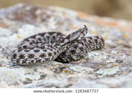 Vipera ammodytes is one of the venomous snakes in Europe due to the large size and the amount of injected venom. He prefers rocky habitats and bushes where he can hide in case of need #1283687737