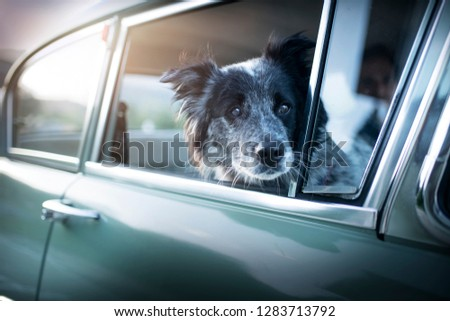 Dog is sitting in an old-timer. Dog in a car.