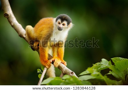 Squirrel monkey, Saimiri oerstedii, sitting on the tree trunk with green leaves, Corcovado NP, Costa Rica. Monkey in the tropic forest vegetation. Wildlife scene from nature. Beautiful cute animal. #1283846128