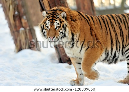 Beautiful wild siberian tiger on snow #128389850