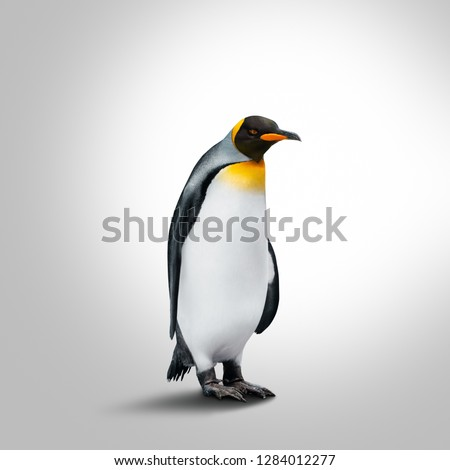 Emperor Penguin Isolated On Gray Background. Penguin Looking Right