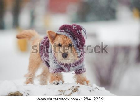 Portrait of nice norwich terrier in snow #128412236