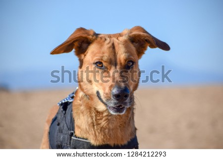 brown dog posing with devil face in the beach #1284212293