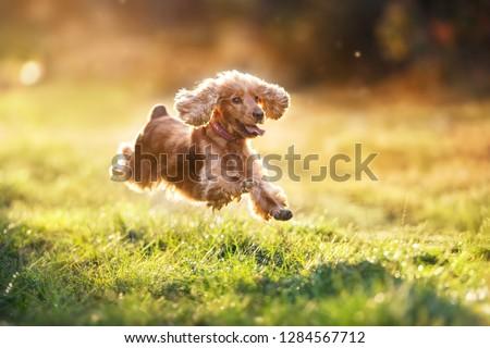 English cocker spaniel run and jump outdoor at sunset light #1284567712