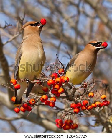 Berry Eating Cedar Waxwings #128463929