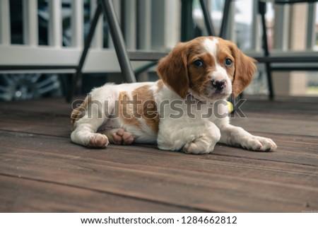 Brittany spaniel puppy #1284662812