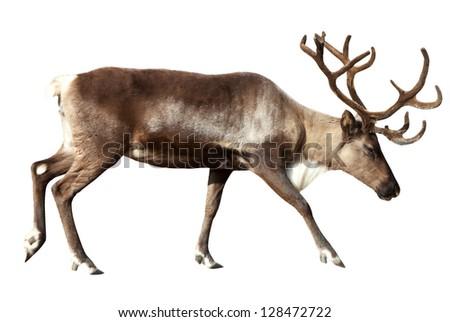 Reindeer (Rangifer tarandus). Isolated over white Royalty-Free Stock Photo #128472722