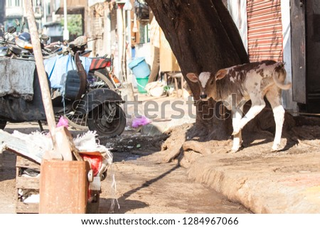 A little cow in the streets of Mumbai. #1284967066