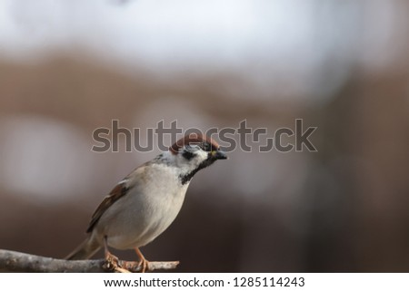 Sparrow stands on a branch and looking down ...  #1285114243