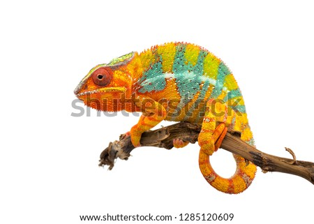 Yellow blue lizard Panther chameleon isolated on white background #1285120609