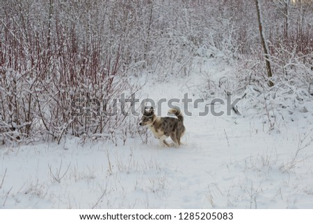 Dogs with blue eyes play in the snow in winter, Beautiful portrait of a pet on a sunny winter day #1285205083