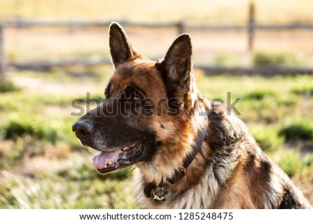 GERMAN SHEPHERD DOG  #1285248475