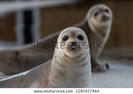 Two harp seals up on their front flippers on an ice pan. The saddleback seals have a dark skin coat. The seals eyes are dark and it has a heart shape nose. There's wrinkles of fur under their heads. #1285457464