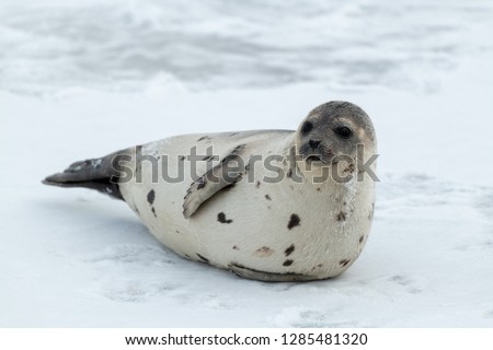 A large adult harp seal with a light color coat and dark spots. The seal is propped up on the ice looking attentively.The dark eyed, earless, and long whiskered saddleback has a large belly of blubber #1285481320