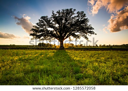 """The McBaine Bur Oak is a national champion tree located in the Missouri River bottomlands outside of Columbia. The more than 350 year-old oak is simply known to many Mid-Missourians as """"The Big Tree."""" #1285572058"""