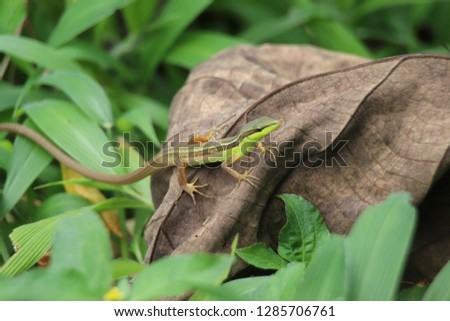 Asian grass lizard on the dried leaves #1285706761