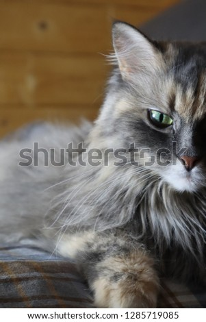 fluffy gray cat, close-up #1285719085