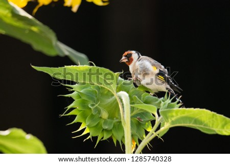 Carduelis carduelis - goldfinch #1285740328