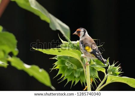 Carduelis carduelis - goldfinch #1285740340