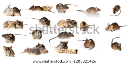 big mice collection - mice isolated on white #1285825426