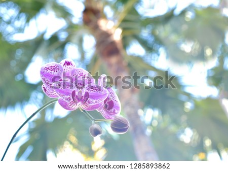 Purple phalaenopsis or moth dendrobium orchid, beautiful flowery pattern, economic flowering plant grow in business farm, flower industrial #1285893862